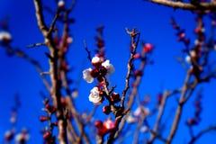 Kwiaty morela Obraz Stock