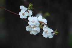 Kwiaty morela Fotografia Stock