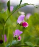 kwiaty motyliego grochu Fotografia Royalty Free
