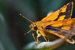 kwiaty motyliego makro pomarańczowy posiedzenia Zdjęcie Royalty Free