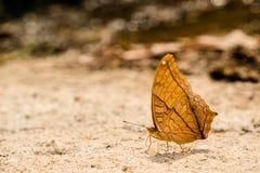 kwiaty motyliego makro pomarańczowy posiedzenia Fotografia Royalty Free
