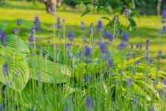 Kwiaty Muscari i Hosta Fotografia Royalty Free