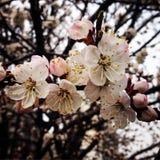 Kwiaty na drzewnej moreli Fotografia Stock