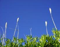 Kwiaty na górze dużej trzcinowej trawy mirtowych zielonych liści Śródziemnomorski rośliny Myrtus communis i, z niebem w turkusie  Zdjęcia Stock