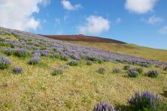 Kwiaty na Vestmannaeyjar wulkanie Obraz Royalty Free