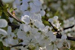 Kwiaty na wiśni Obraz Royalty Free