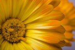 kwiaty nagietka Obrazy Royalty Free