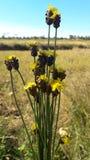Kwiaty - naturalnie - występujący kolorów żółtych kwiaty Obrazy Royalty Free
