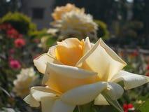 Kwiaty natury ` s boiska ogród Obraz Royalty Free
