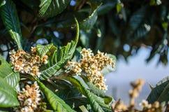 Kwiaty nespolo Eriobotrya giapponese japonica Zdjęcie Stock