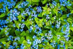 kwiaty nie zapominają zdjęcie royalty free