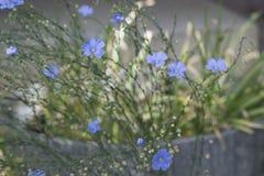 kwiaty nie zapominają Zdjęcia Stock