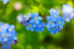 kwiaty nie zapominają Zdjęcie Stock