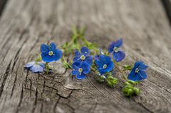 Kwiaty niezapominajkowy zakończenie zdjęcia royalty free