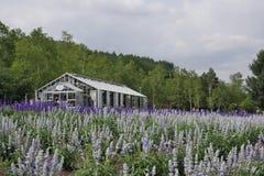 Kwiaty od Tomita lawendy gospodarstwa rolnego, Hokkiado Obrazy Royalty Free