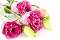 kwiaty odizolowywać menchie Zdjęcia Stock
