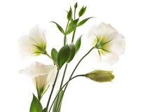 kwiaty odizolowywali biel zdjęcia royalty free