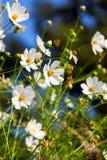 kwiaty ogrodu letni kwiat Obrazy Royalty Free