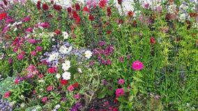kwiaty ogrodu letni kwiat Obraz Royalty Free