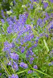 kwiaty ogrodu letni kwiat Medicago Obrazy Stock