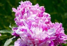 kwiaty ogrodu letni kwiat Peoni menchie Obrazy Royalty Free