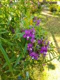 kwiaty ogrodu purpurowy fotografia stock