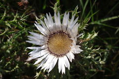 Kwiaty oset Fotografia Stock