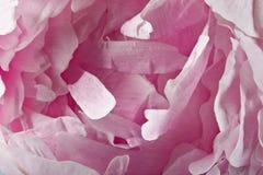kwiaty płatków róż obraz royalty free