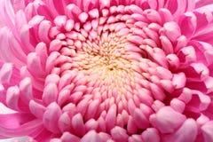 kwiaty płatków róż fotografia stock