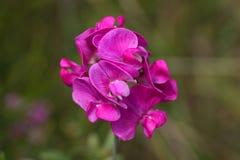 Kwiaty płaski groch Zdjęcia Royalty Free