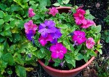 Kwiaty petunia Zdjęcie Stock