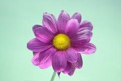 Kwiaty pod wodą, purpurowa chryzantema z lotniczymi bąblami na bzach na zieleni Obrazy Royalty Free