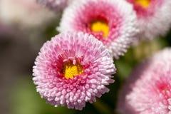 Kwiaty podium & x28; Bellis flower& x29; , biel, menchia, kwitnie w łące fotografia royalty free