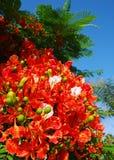 kwiaty poinciana Obraz Royalty Free