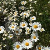 Kwiaty pole obraz stock
