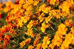 kwiaty pomarańczy Zdjęcie Royalty Free