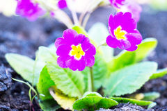 Kwiaty Primula juliae zdjęcie royalty free