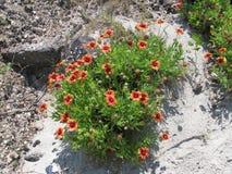 Kwiaty przy mirt plażą Obrazy Stock