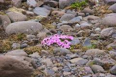 Kwiaty przy Vatnajökull lodowem Obrazy Royalty Free