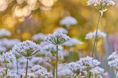 Kwiaty przy świtem Zdjęcie Stock