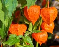 Kwiaty, przylądka agrest z liśćmi lub Zdjęcie Stock