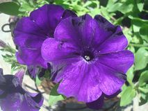 (1) kwiaty purpurowi Obraz Stock