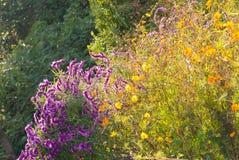 Kwiaty purpurowi i żółci kosmosów kwiaty Zdjęcie Stock