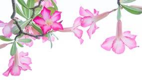 Kwiaty, pustynia Wzrastali; Impala leluja; Próbna azalia kwitnie na backgr ilustracja wektor