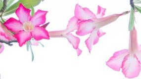 Kwiaty, pustynia Wzrastali; Impala leluja; Próbna azalia kwitnie na backgr Zdjęcie Royalty Free