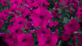 kwiaty puszkujący Obrazy Royalty Free