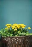 kwiaty puszkujący Fotografia Royalty Free
