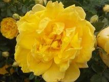 Kwiaty, róże, kolor żółty, płatki, kolory, ogród, outdoors, liść, zbliżenie, natura, piękno, ornamentacyjny, krzak, flowerbed, po Obrazy Royalty Free