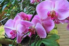Kwiaty różowe orchidee w górę fotografia royalty free