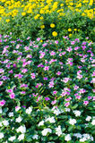 kwiaty różowią biały kolor żółty zdjęcie royalty free